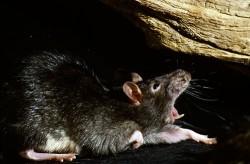 Rattenbekämpfung, Rattenjagd, Giftköder, Kammerjäger
