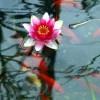 Fische im Gartenteich - Welche Arten sich eignen sich - Ratgeber Gartenteich