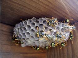 Bekämpfung von Schädlingen - Gefahrloses Umsetzen oder Entfernen von Wespennestern - Ratgeber
