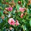 Behandlung von Pilzbefall bei Rosen