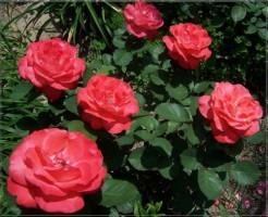 Rosengarten richtig pflegen - Vorsorge von Pilzbefall bei Rosen
